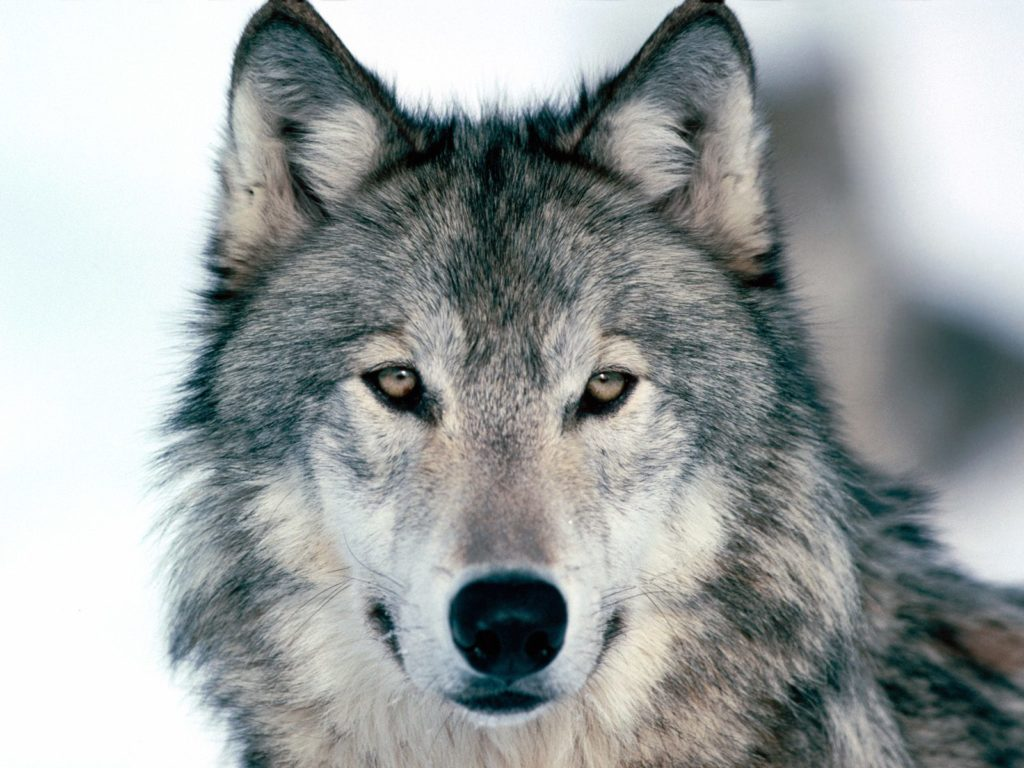 wolf in der literatur